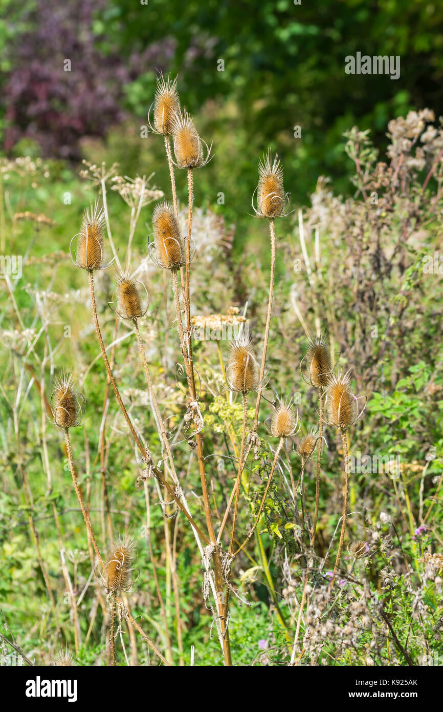 Dipsacus fullonum Teasel (Common Teasel, Wild Teasel, Fuller's Teasel), dried seed heads, in early Autumn near - Stock Image
