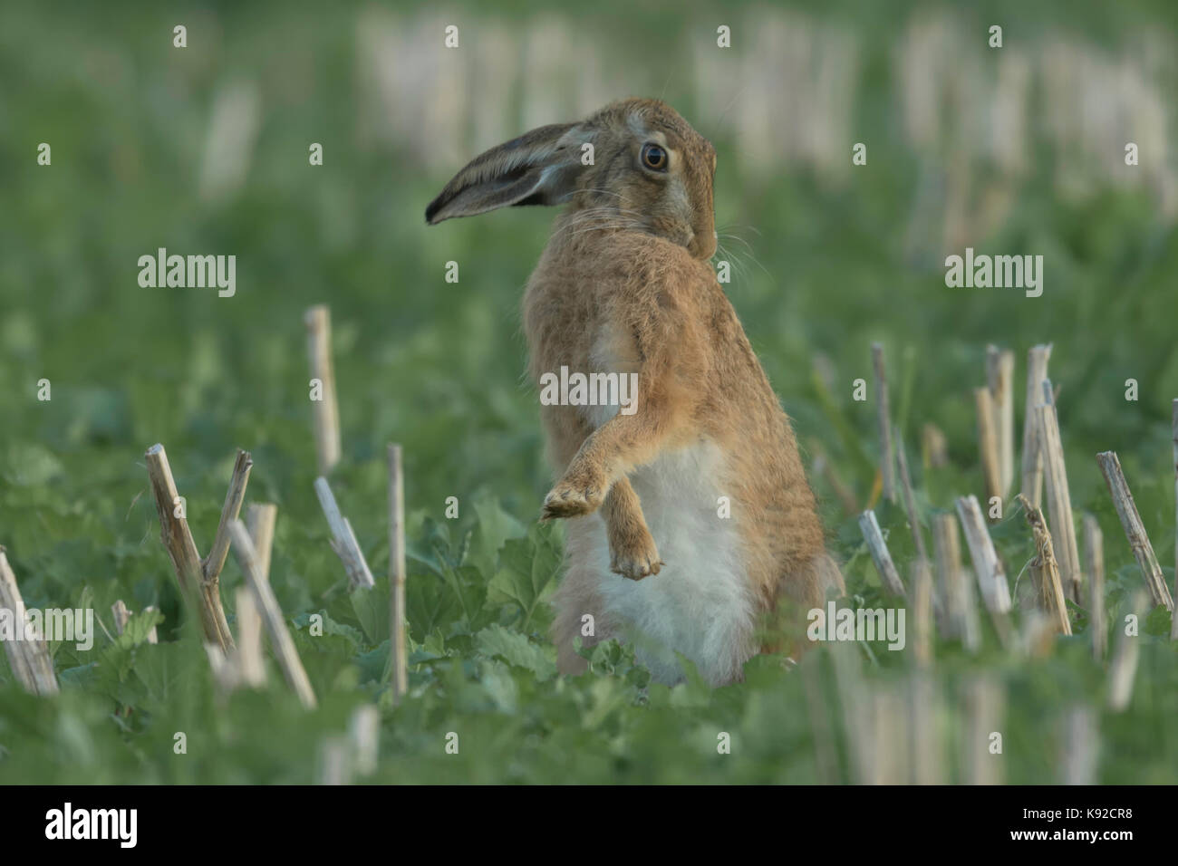 Brown Hare (Lepus europaeus) cleaning its self. - Stock Image