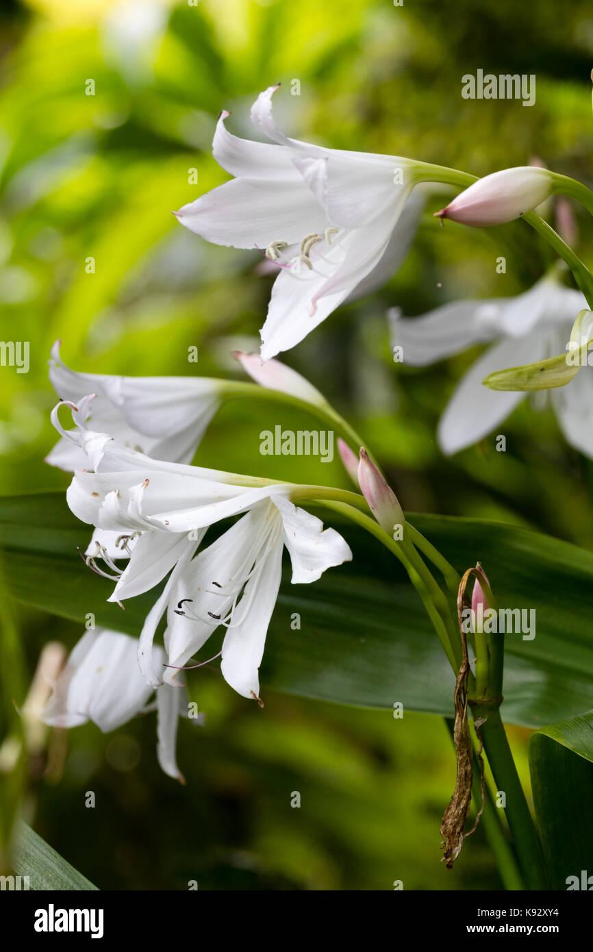 White, late summer flowers of the half-hardy ornamental bulb, Crinum x powellii 'Album' Stock Photo
