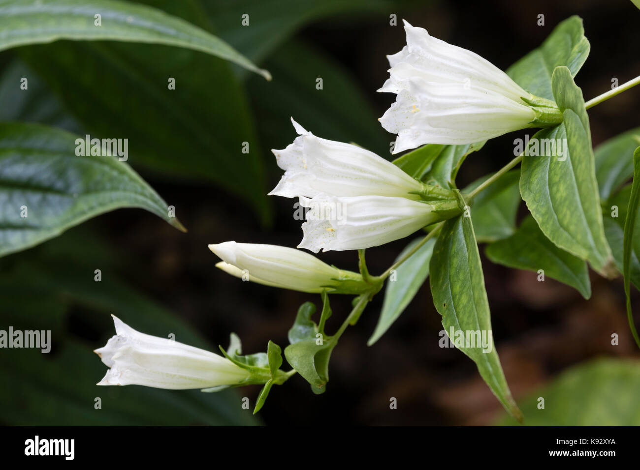 White autumn flowers of the hardy perennial willow gentian, Gentiana asclepiadea 'Alba' - Stock Image