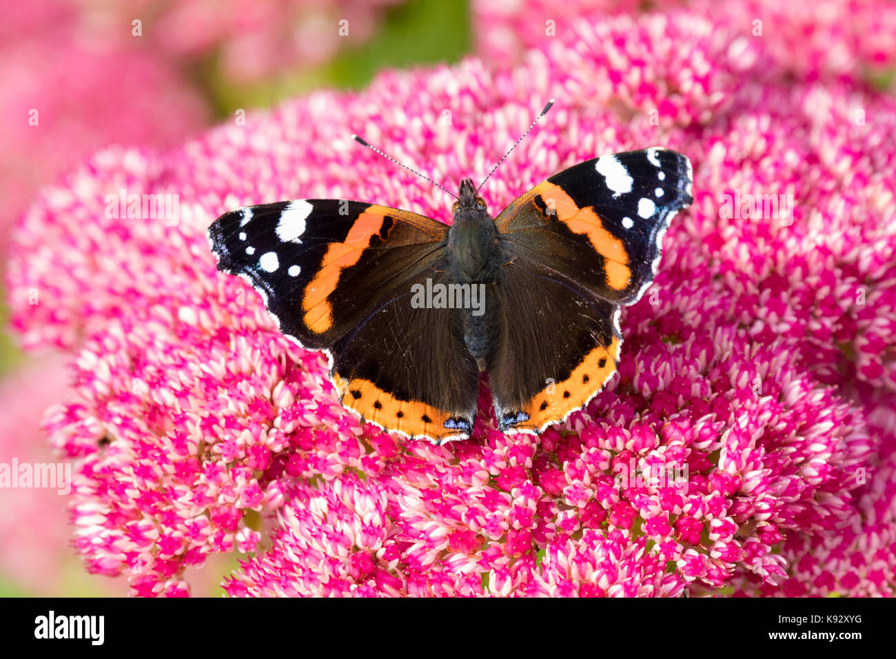 Adult Red admiral butterfly, Vanessa atalanta, feeding on the September flowers of Sedum spectabile - Stock Image