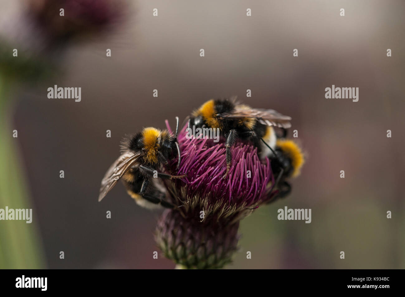 Close-up of bees collecting pollen from a Cirsium rivulare flower - Stock Image