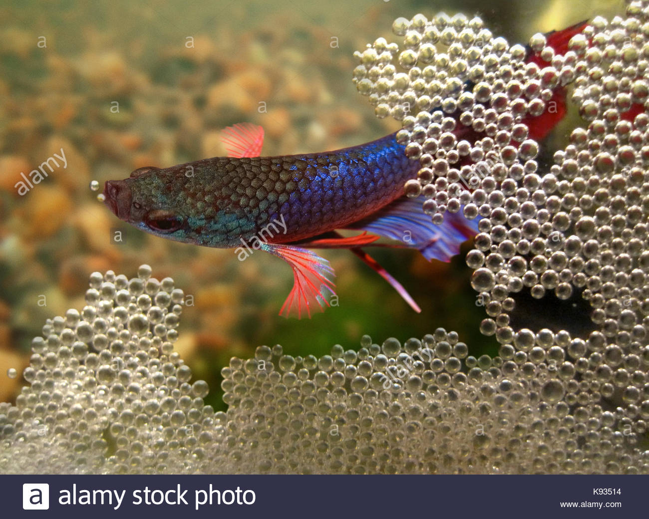 Siamese fighting fish, Betta splendens. Male building the bubble nest at the surface. The eggs float and stay mixed - Stock Image
