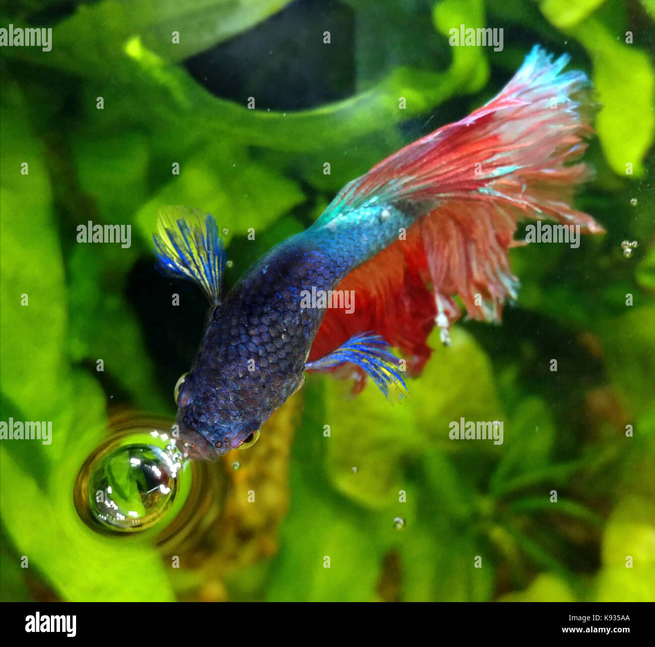 Siamese fighting fish, Betta splendens. Male breathing air at the surface. Those fish possess an head internal organ, - Stock Image