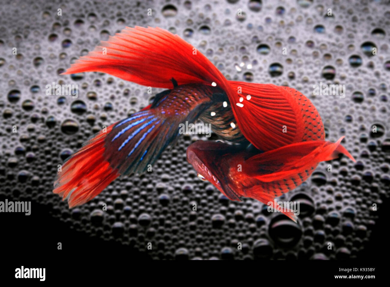Siamese fighting fish, Betta splendens. Lower view of the couple breeding under the bubble nest at the water surface. - Stock Image