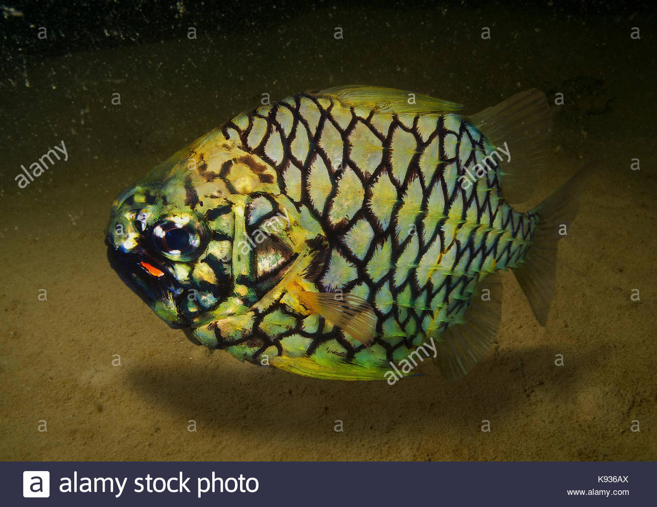 Pineapplefish, Cleidopus gloriamaris. The pineapplefish is a weak swimmer and a nocturnal species found inside caves - Stock Image