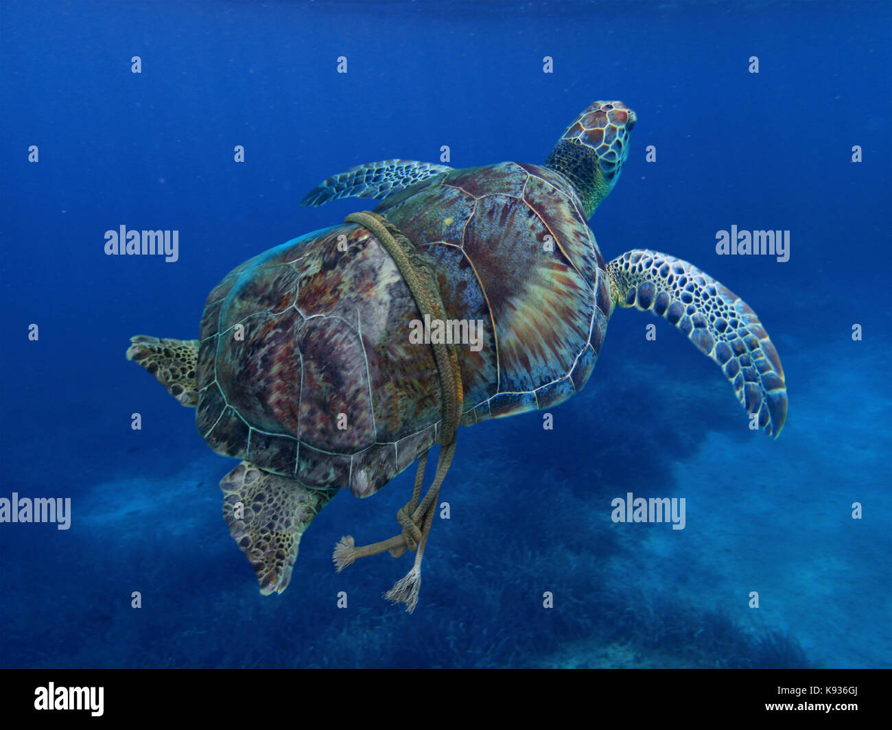 Green turtle entangled with a nylon rope that as already deformed it's carapace. Sea animals can't defend - Stock Image