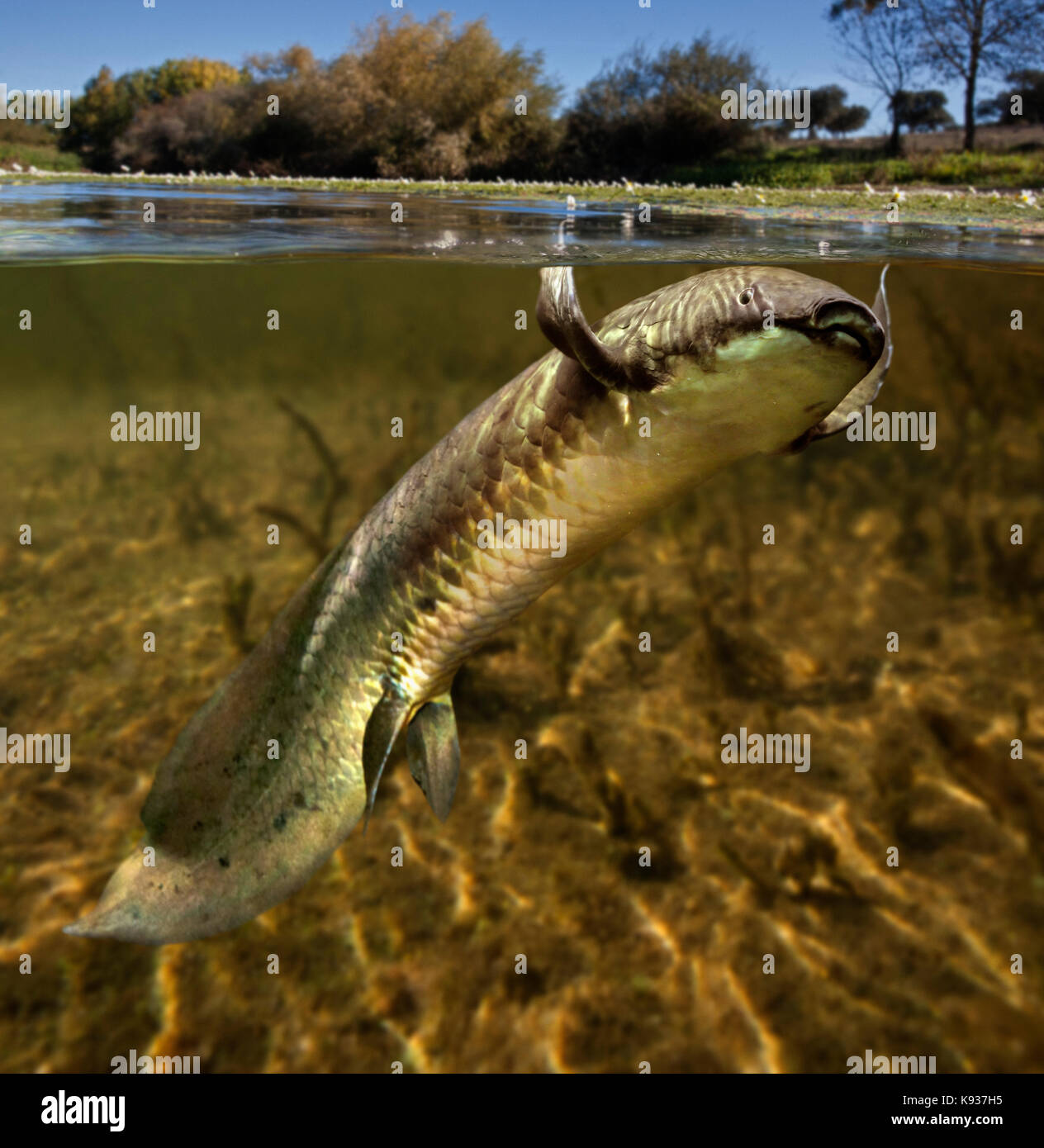 Australian lungfish, Neoceratodus forsteri . It is one of six representatives of the ancient air-breathing Dipnoi - Stock Image