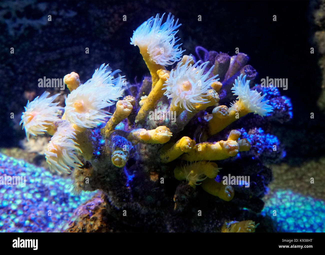 Stony cup coral or tree coral, Dendrophyllia ramea. Close-up of polyps on aquarium. Those coral popyps don't - Stock Image