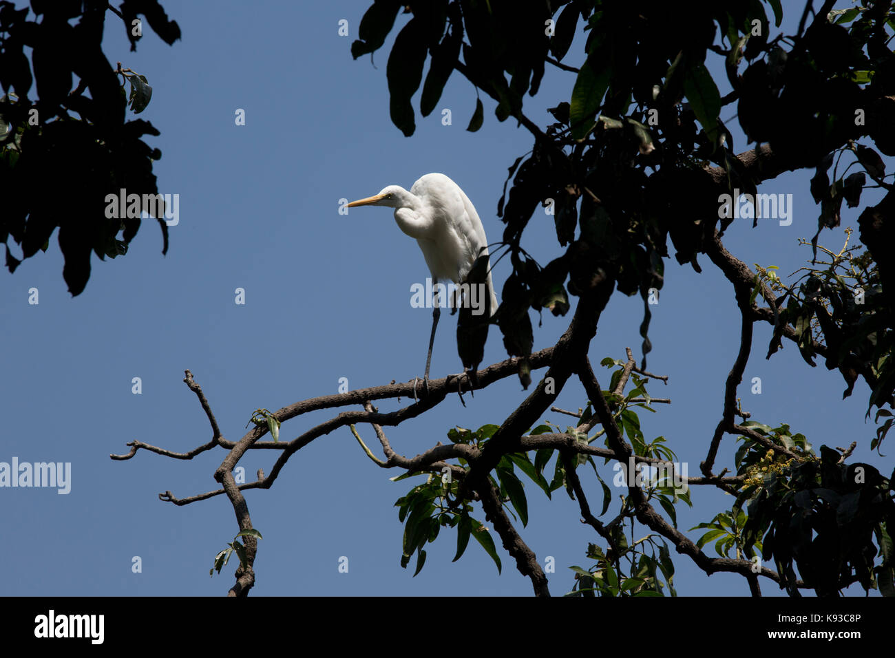 Kandy Sri Lanka Non Breeding Eastern Great Egret in tree by Kandy Lake Kiri Muhuda Large Artificial Lake Created - Stock Image