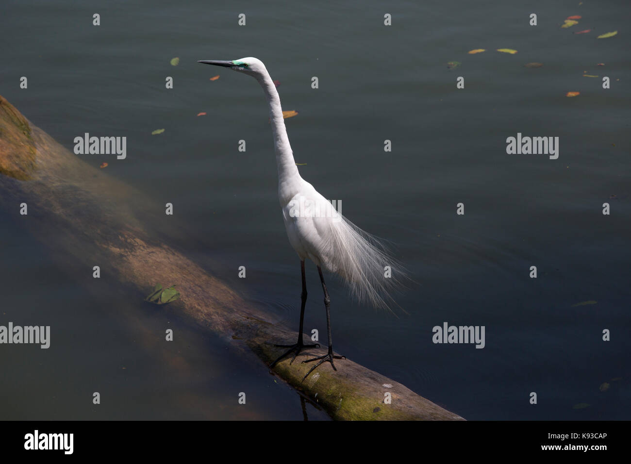 Kandy Sri Lanka Eastern Great Egret during breeding season on Kandy Lake Kiri Muhuda Large Artificial Lake Created - Stock Image