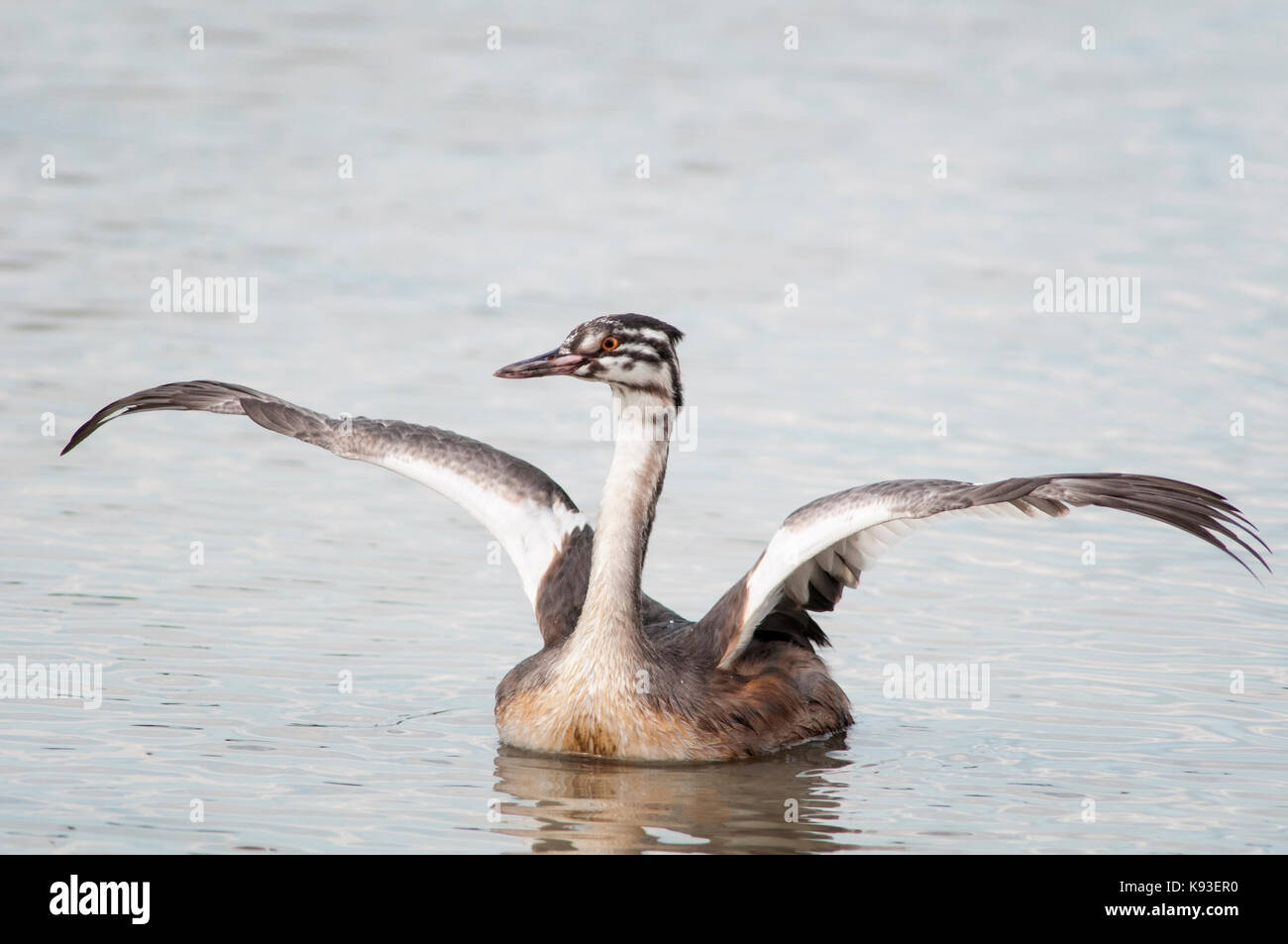 Horizontal portrait of Great Crested Grebe, Podiceps cristatus (Podicipedidae). Young flapping wings in shallow - Stock Image