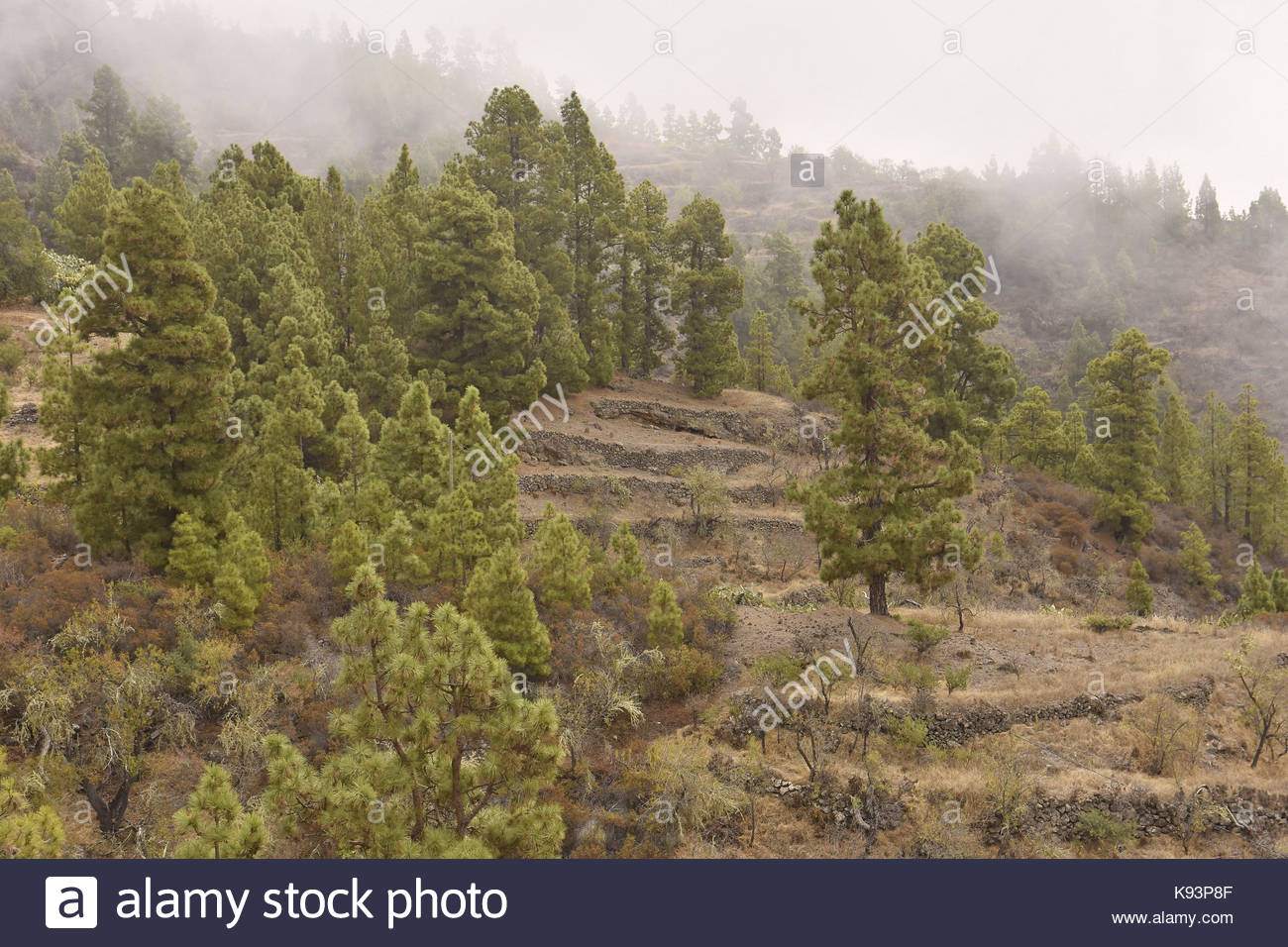 Mist forming over hills with pine trees (pinus canariensis) near town of Tijarafe northwest of La Palma Canary Islands - Stock Image