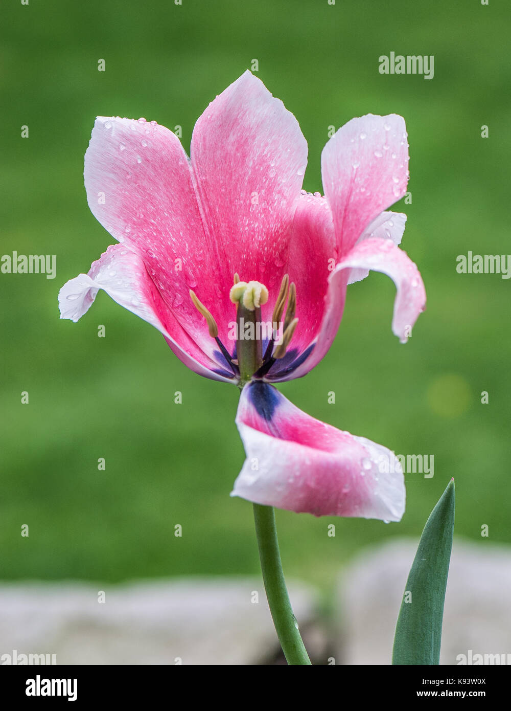 Tulip pistil surrounded by stamens, Hamburg, Germany - Stock Image