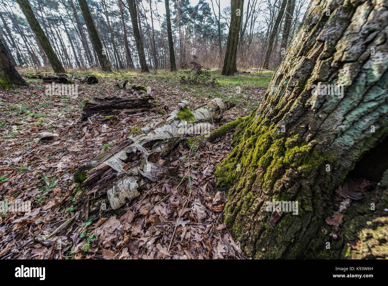 forest near Scharmützelsee, Brandenburg, Germany - Stock Image