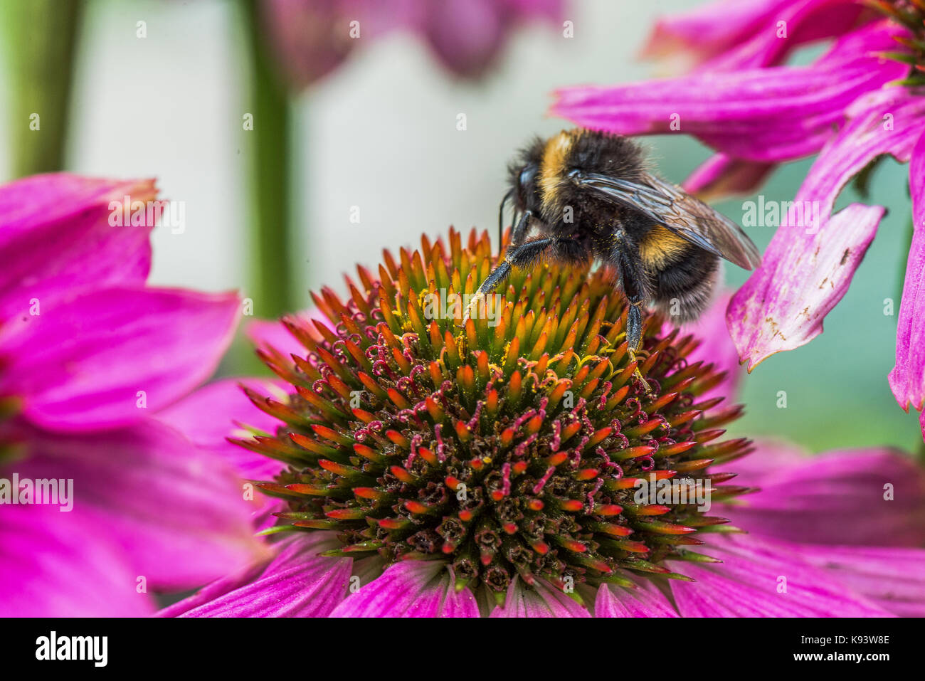 insects on Echinacea blossom, Hamburg, Germany - Stock Image