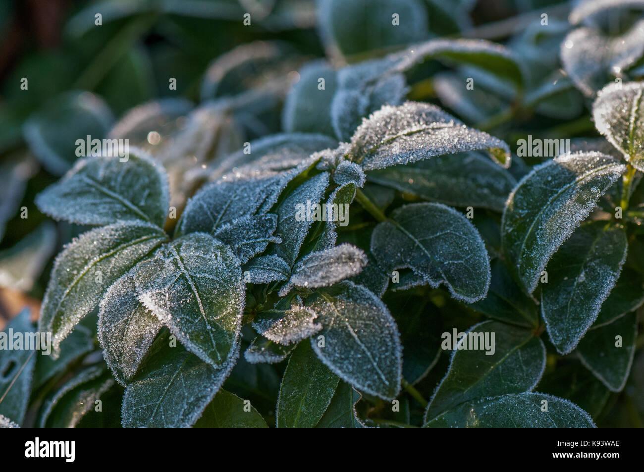 winter frost on garden flowers, Hamburg, Germany Stock Photo