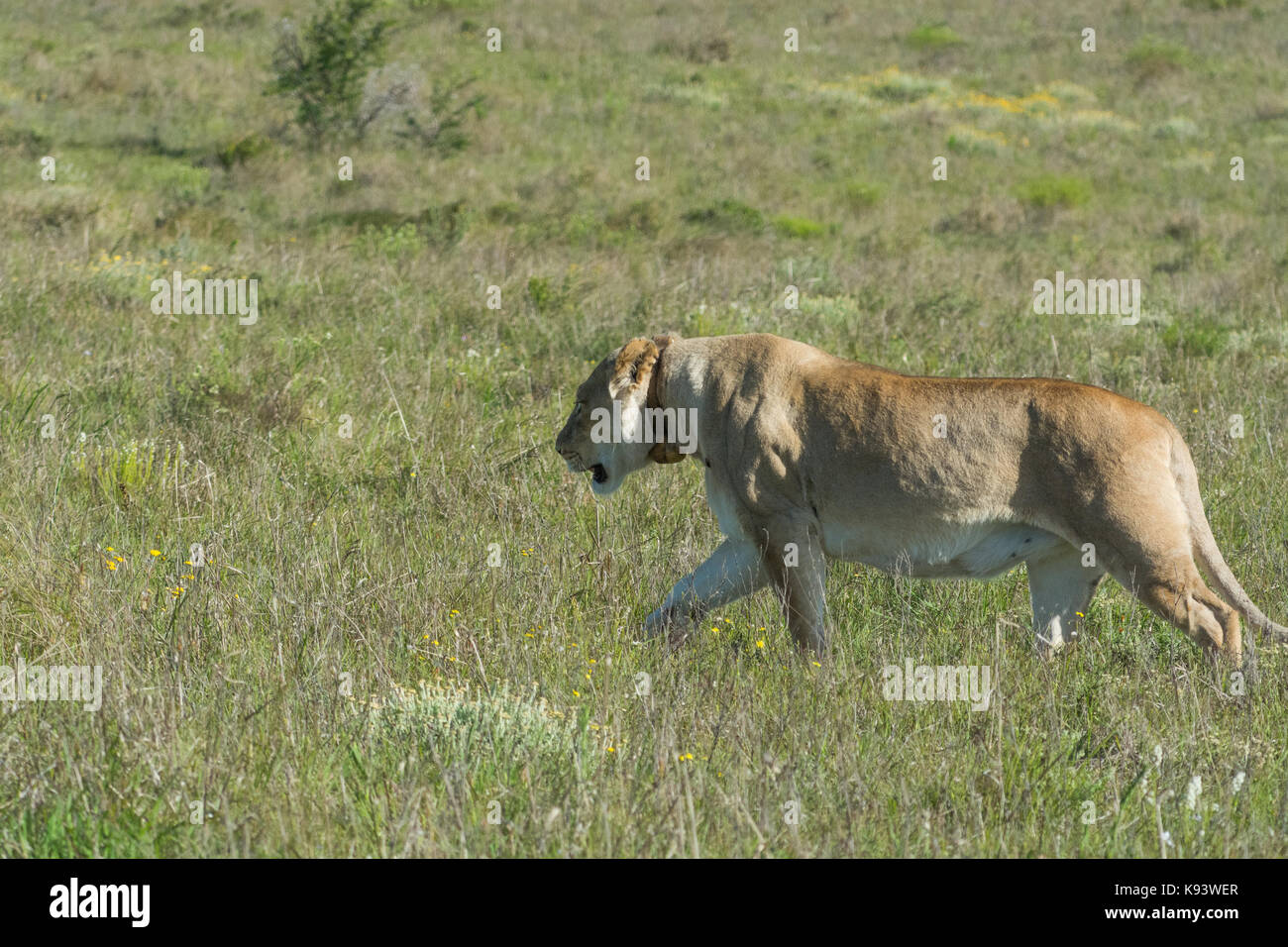 female lion at Addo Elephant National Park, Eastern Cape, South Africa Stock Photo