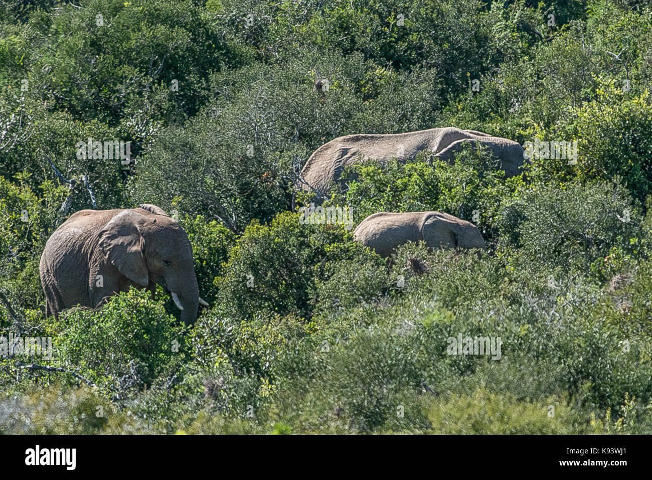 Addo Elephant National Park, Eastern Cape, South Africa Stock Photo