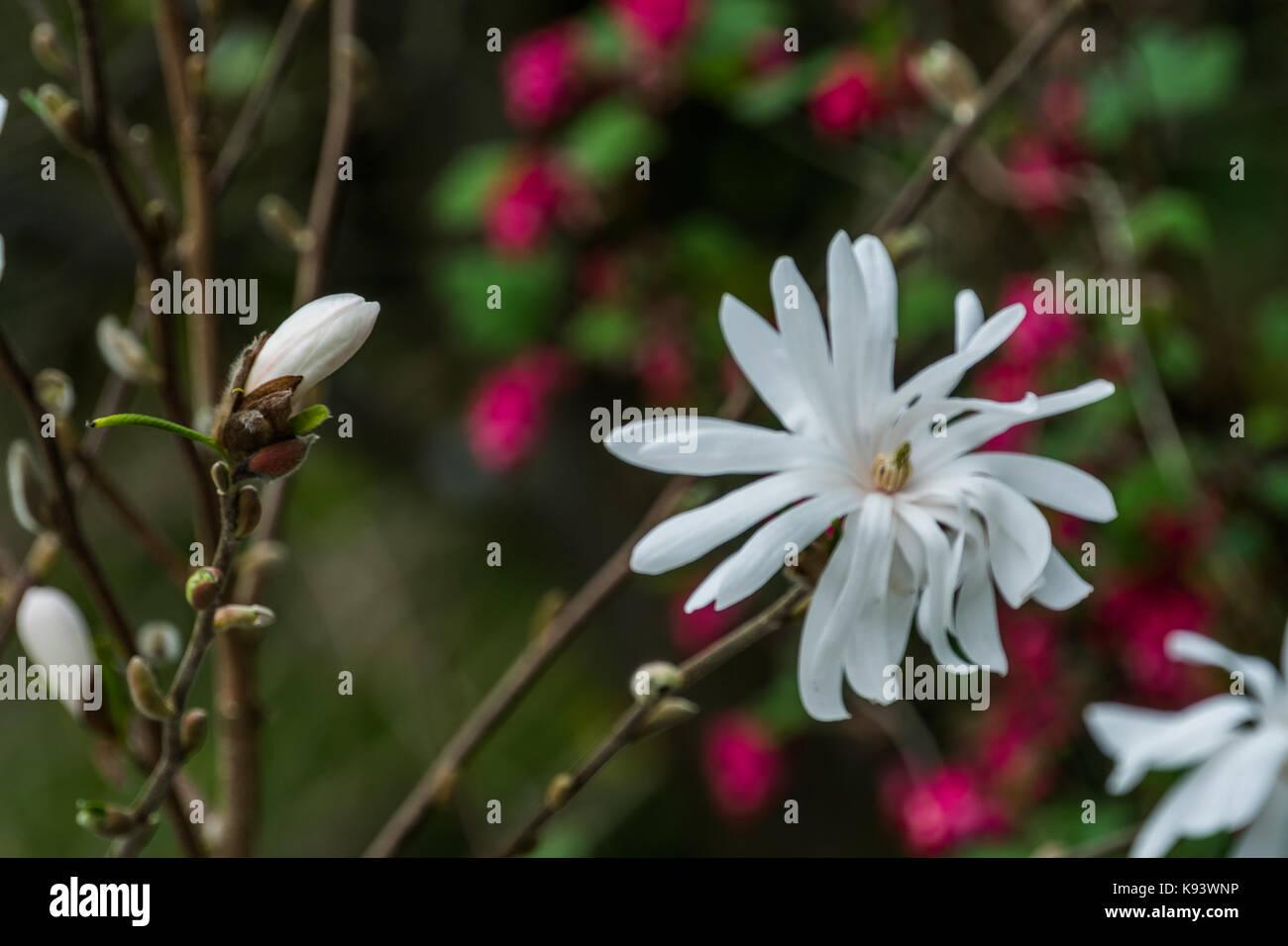Magnolia stellata, Hamburg, Germany Stock Photo