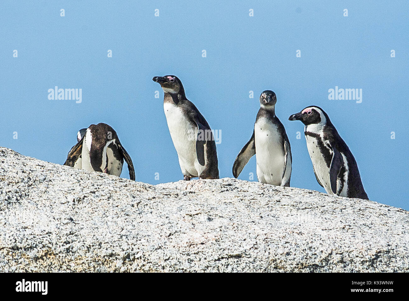 African penguins at Simon's Town, South Africa Stock Photo