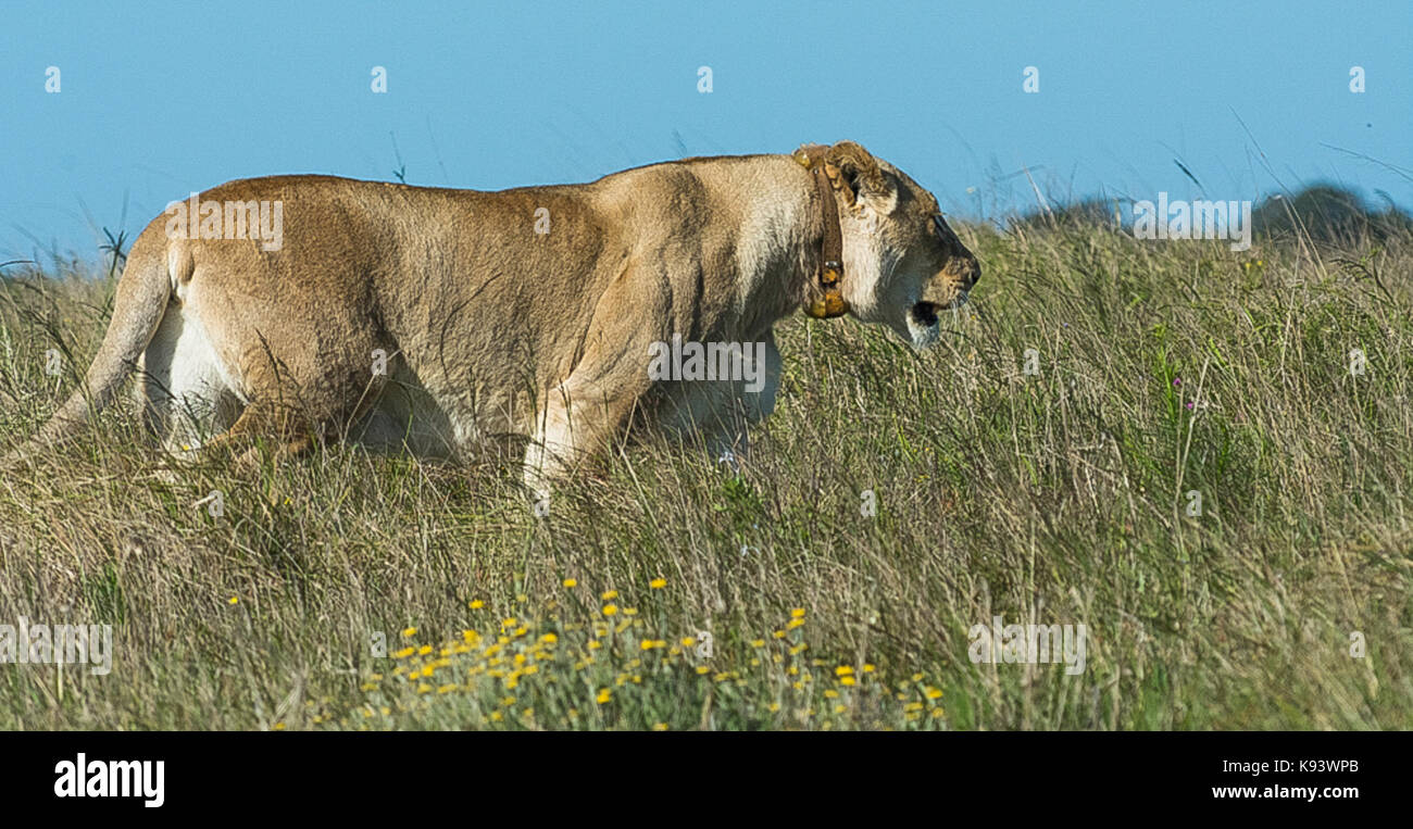female lion at Addo Elephant National Park, Eastern Cape, South Africa - Stock Image