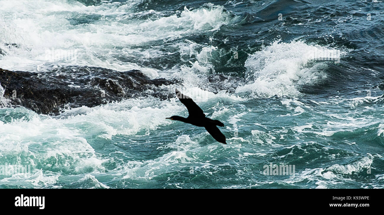 white breasted cormorant at Hermanus, Western Cape, South Africa - Stock Image