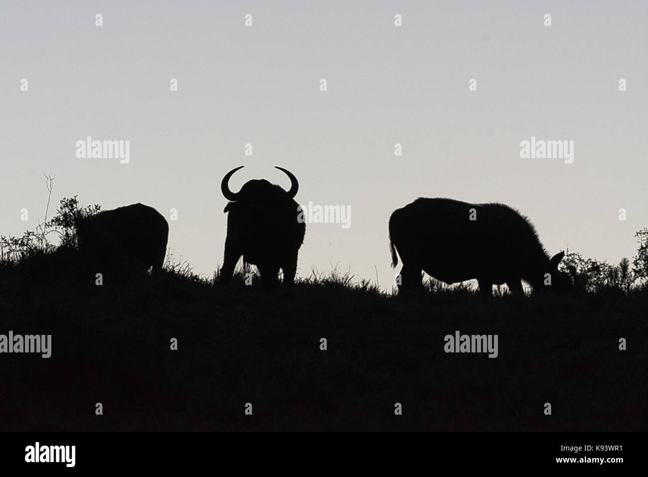 cape buffaloes at Addo Elephant National Park, Eastern Cape, South Africa - Stock Image