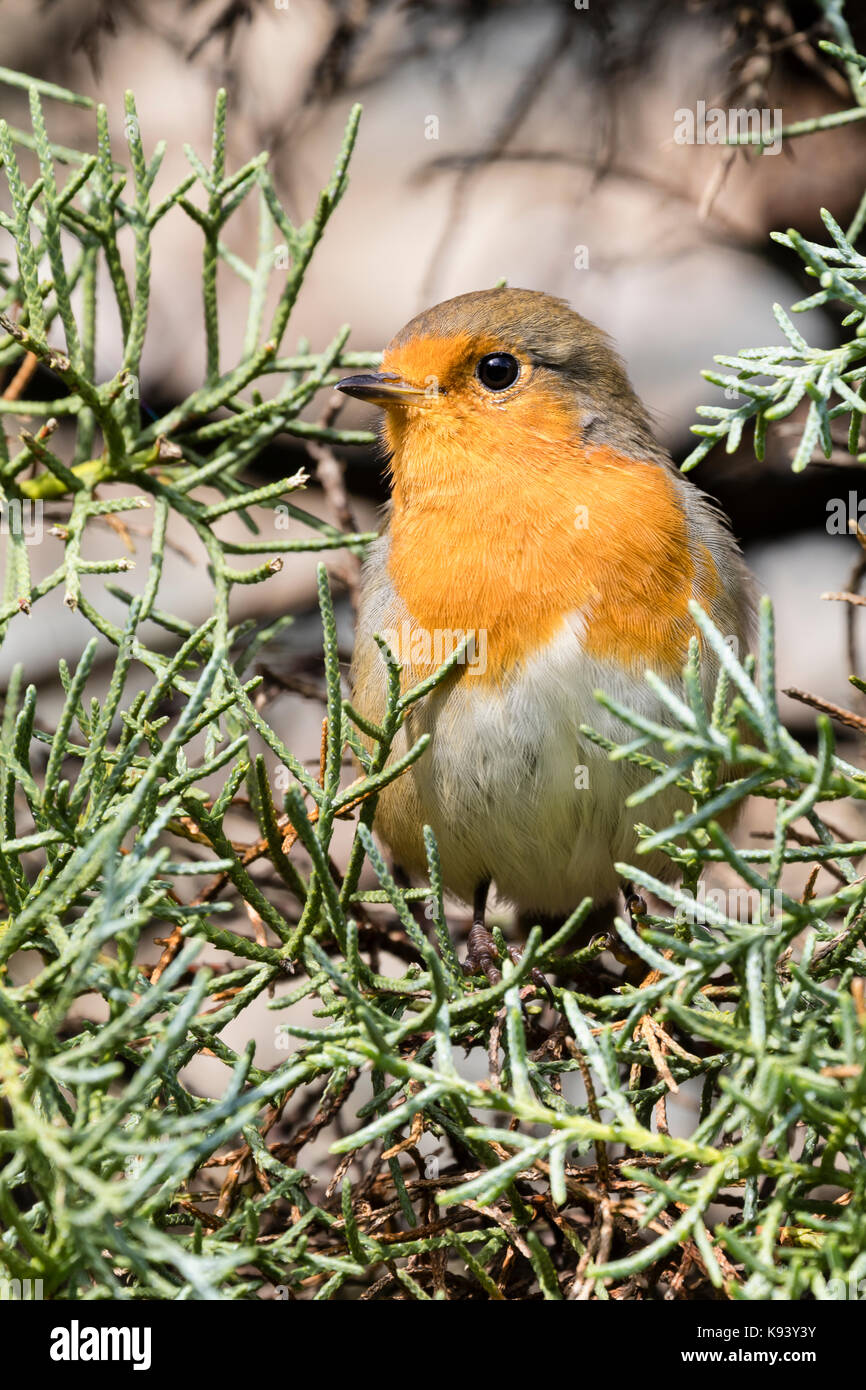 European robin, Erithacus rubecula, in adult plumage, perching in the foliage of Cupressus arizonica var. glabra - Stock Image
