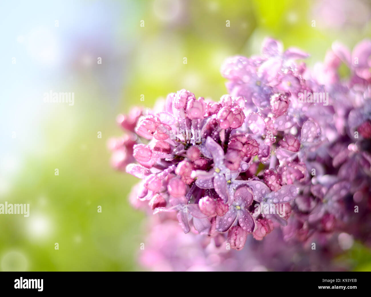 Lilac flower under the blue sky, against beautiful bokeh and sparkling lights. - Stock Image