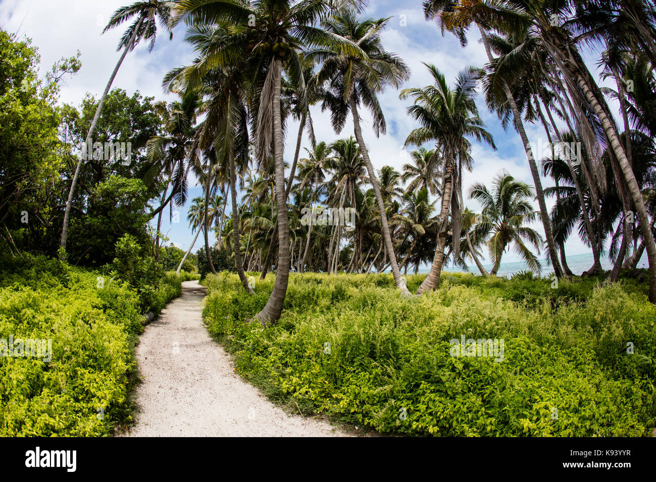 A sandy path leads through a forest of palm trees on Half Moon Caye, a remote island in Lighthouse Reef Atoll in - Stock Image