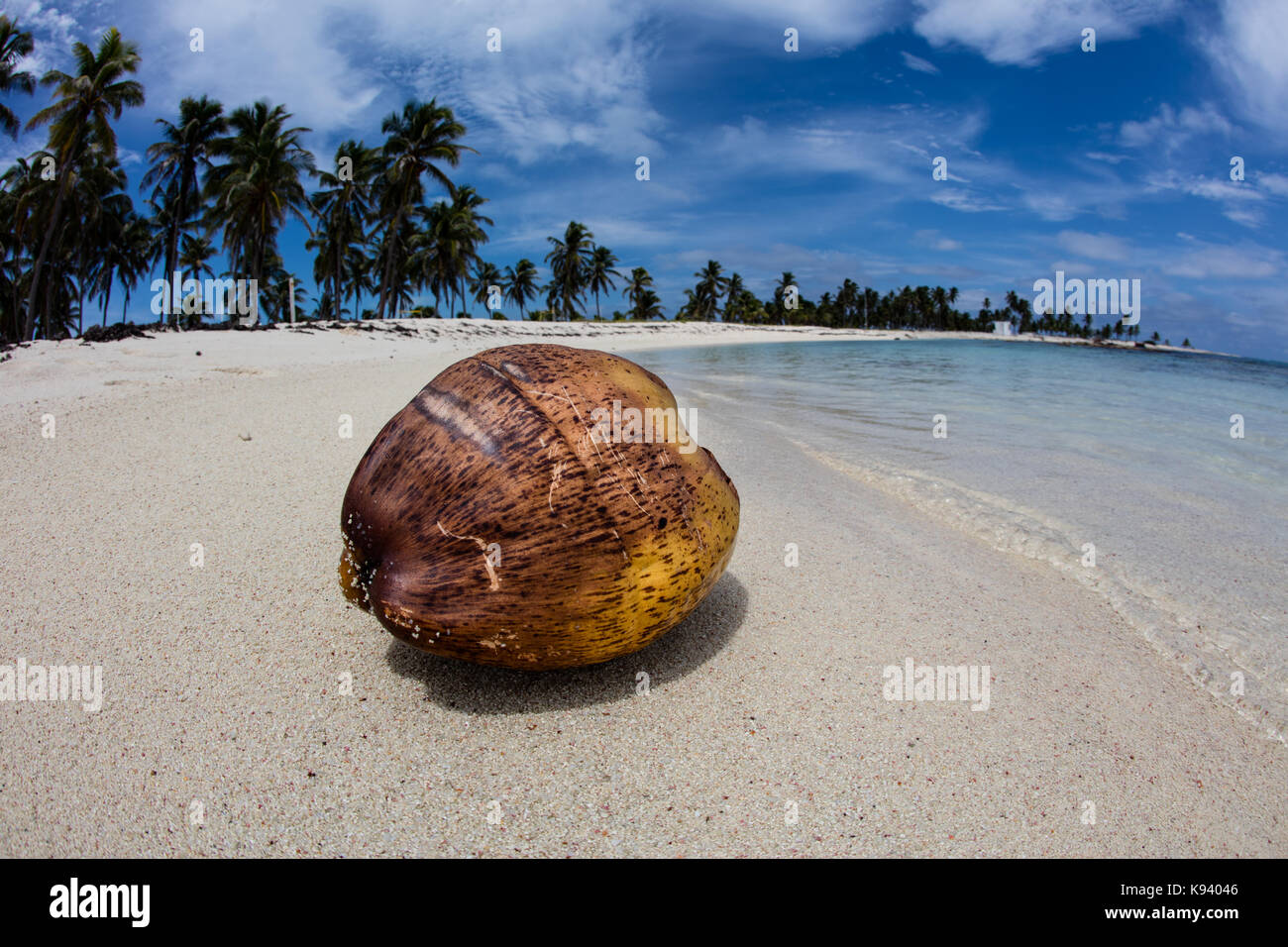 A coconut washes up on Half Moon Caye, a remote island in Lighthouse Reef Atoll in the Caribbean Sea. Coconuts can - Stock Image