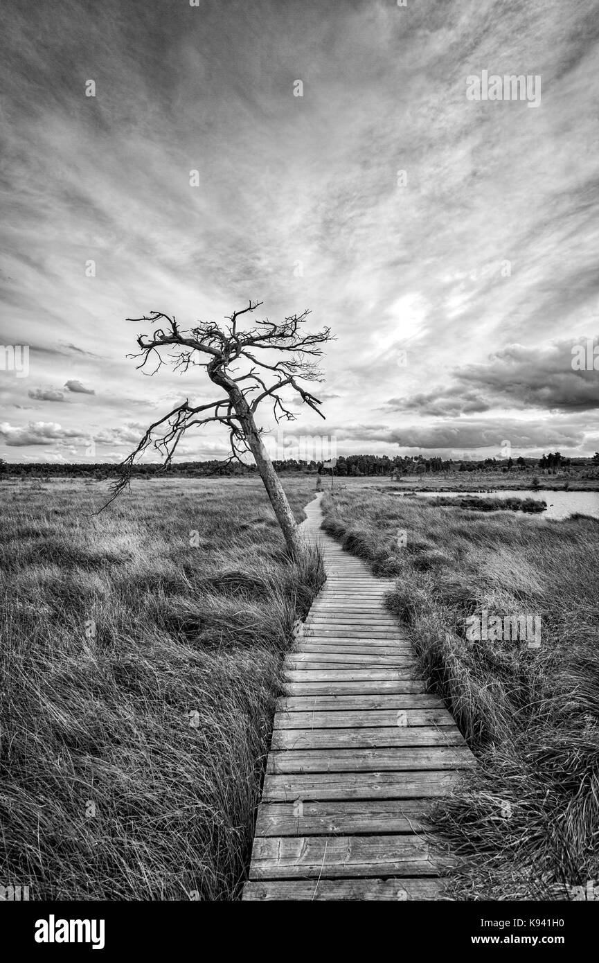 landscape, dead tree by a wooden boardwalk. Dragonfly nature trail, Thursley, Surrey. - Stock Image