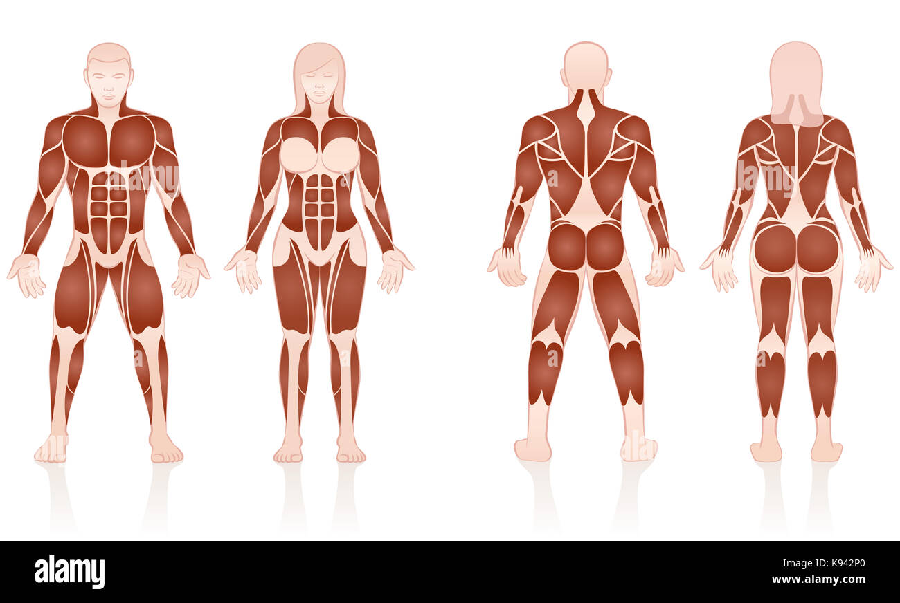Muscle Groups Stock Photos & Muscle Groups Stock Images - Alamy