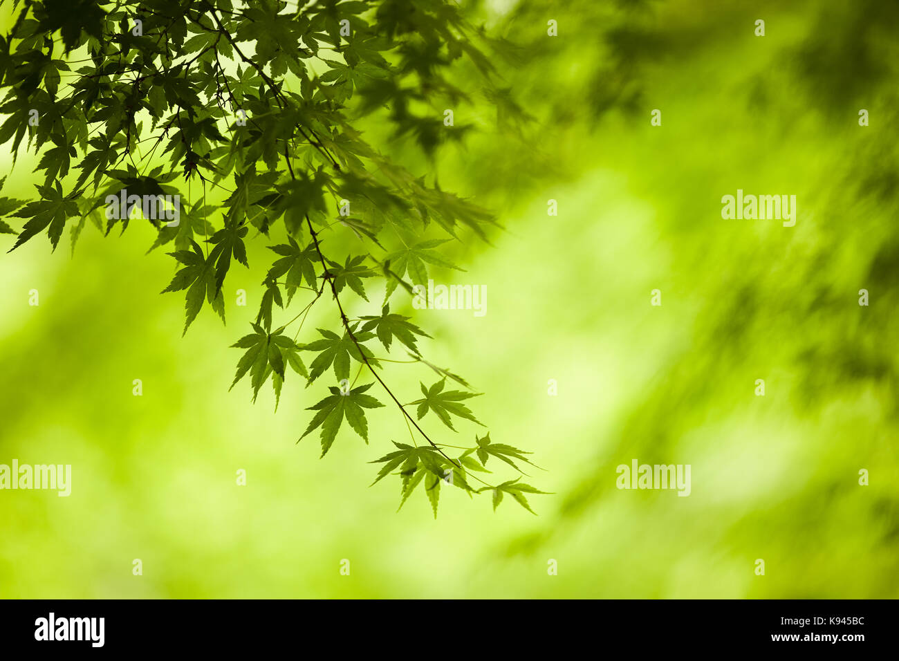 Branches Of A Japanese Maple Tree With Green Leaves Outline Of