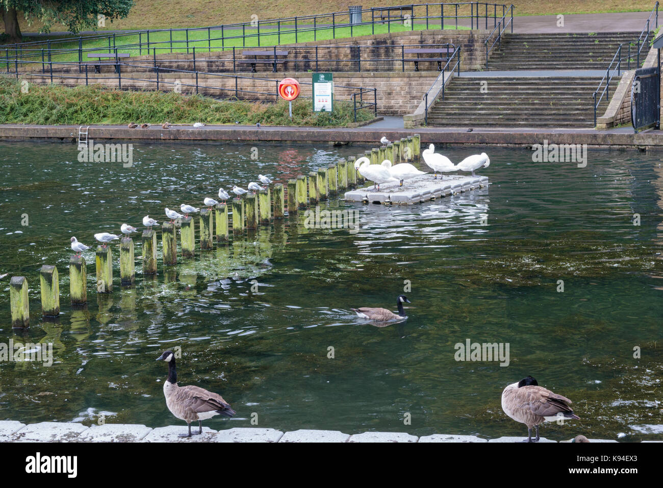 Swans and ducks on Waterloo Lake, Roundhay Park, Leeds Stock Photo