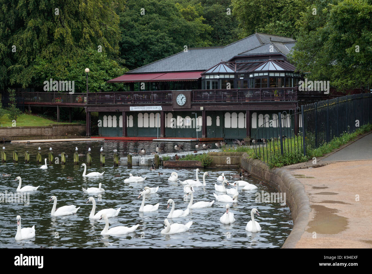 Swans and ducks on Waterloo Lake, Roundhay Park, Leeds Stock Photo
