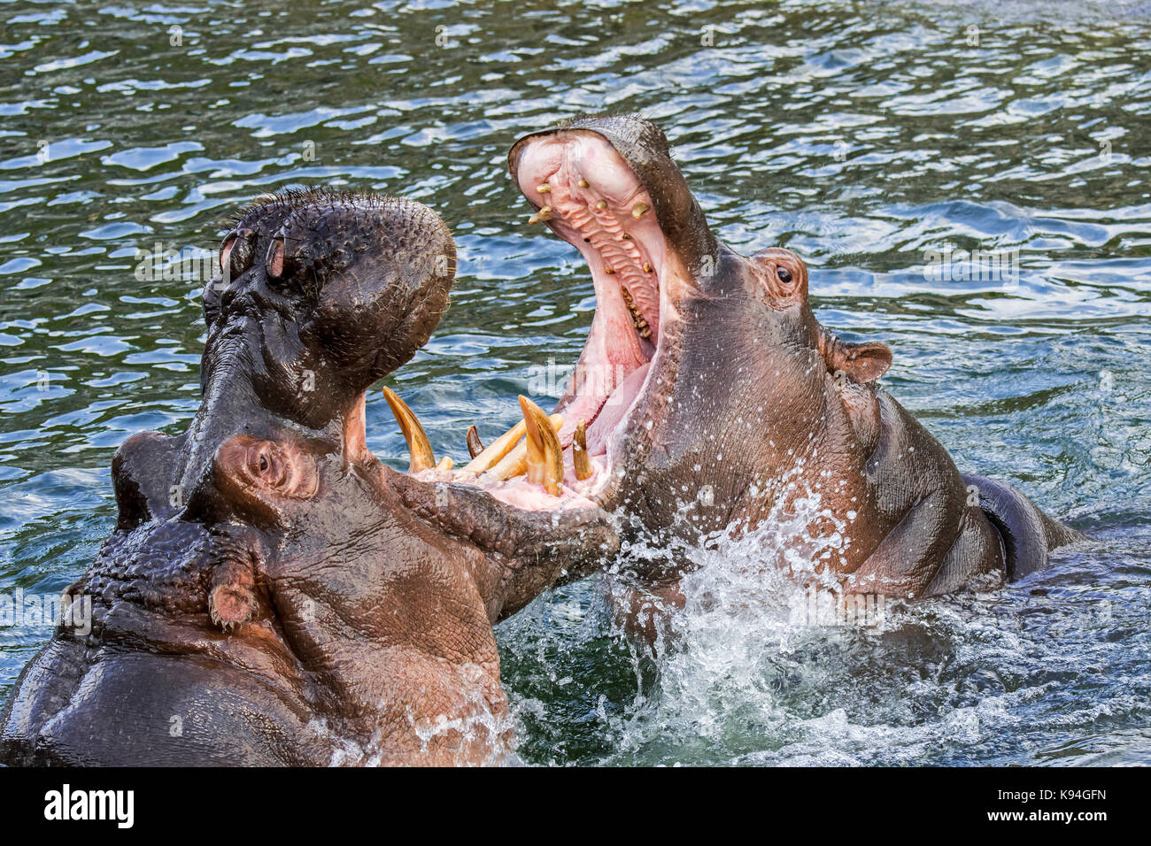 Fighting hippopotamuses / hippos (Hippopotamus amphibius) in lake showing huge teeth and large canine tusks in wide - Stock Image