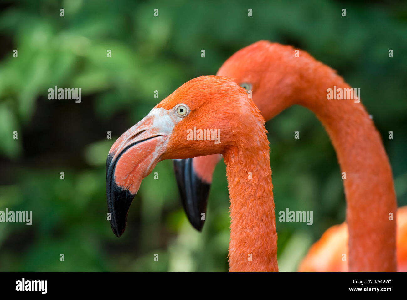 American flamingo / Caribbean flamingo (Phoenicopterus ruber) close up of head and beak - Stock Image