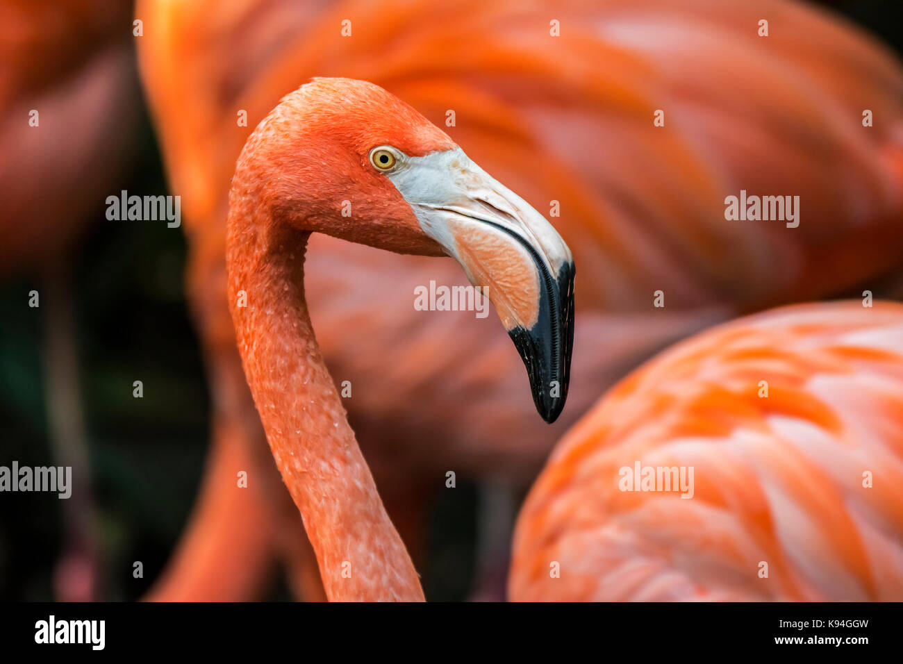 American flamingo / Caribbean flamingo (Phoenicopterus ruber) close up of head and beak among other flamingos in Stock Photo