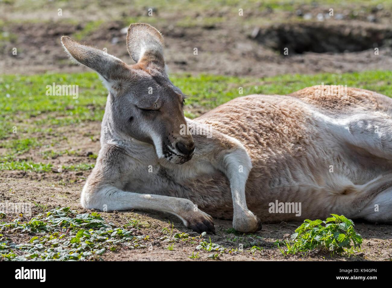 Close up of red kangaroo (Macropus rufus) female resting, native to Australia - Stock Image