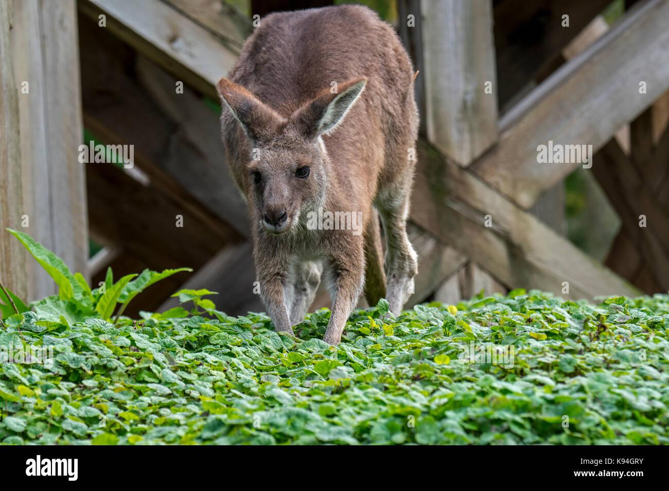Western grey kangaroo / black-faced kangaroo / mallee kangaroo / sooty kangaroo (Macropus fuliginosus), native to - Stock Image