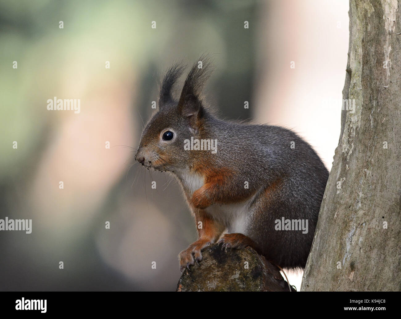 Eurasian red squirrel in their natural environment of a pine tree wood forest - Stock Image