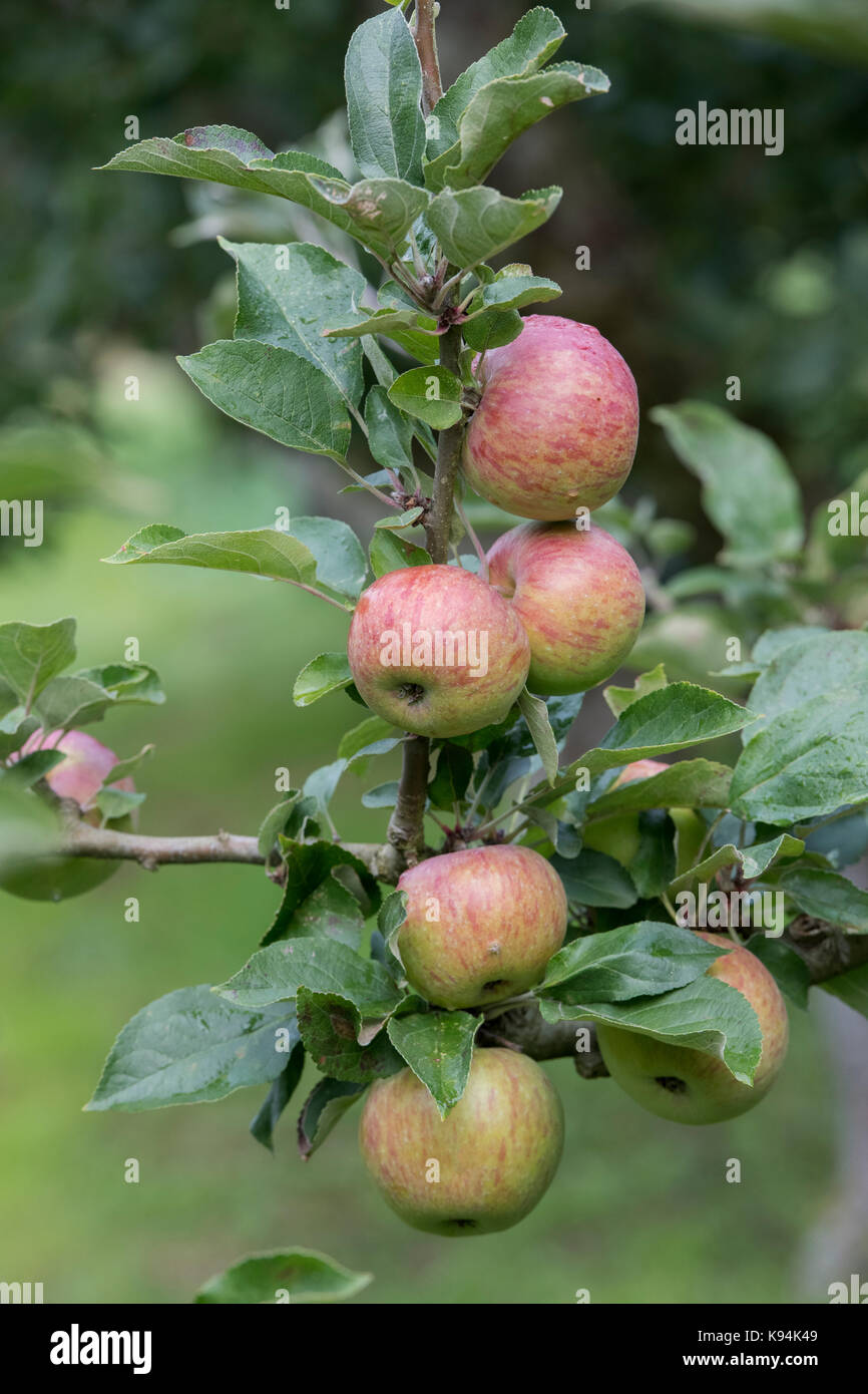 Malus domestica 'Crawley beauty'. Apples on the tree in autumn - Stock Image