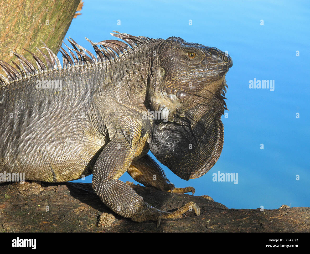 A lizard in Parque northe  of  Medellin colombia Stock Photo
