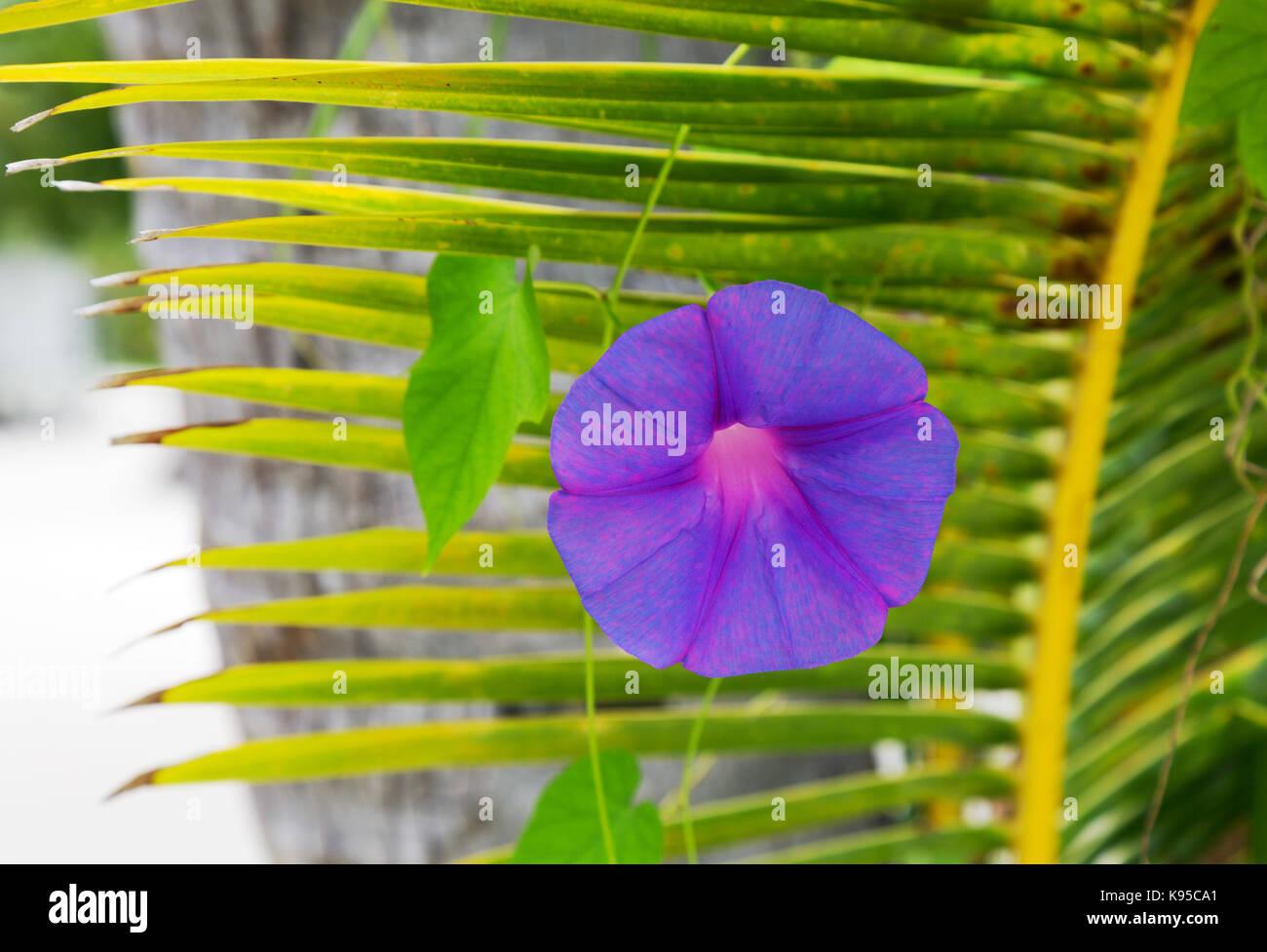 Beautiful purple Morning Glory flower, ( Ipomea Indica ), the Maldives, Asia - Stock Image