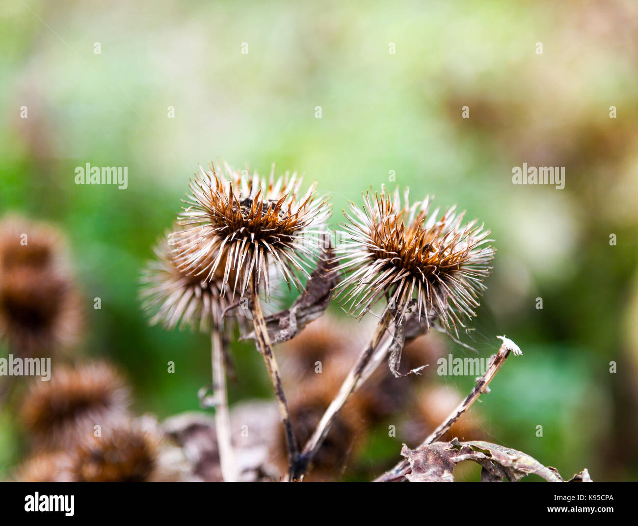 Spiked Seed heads or Burs or Burrs of an Arctium or Burdock