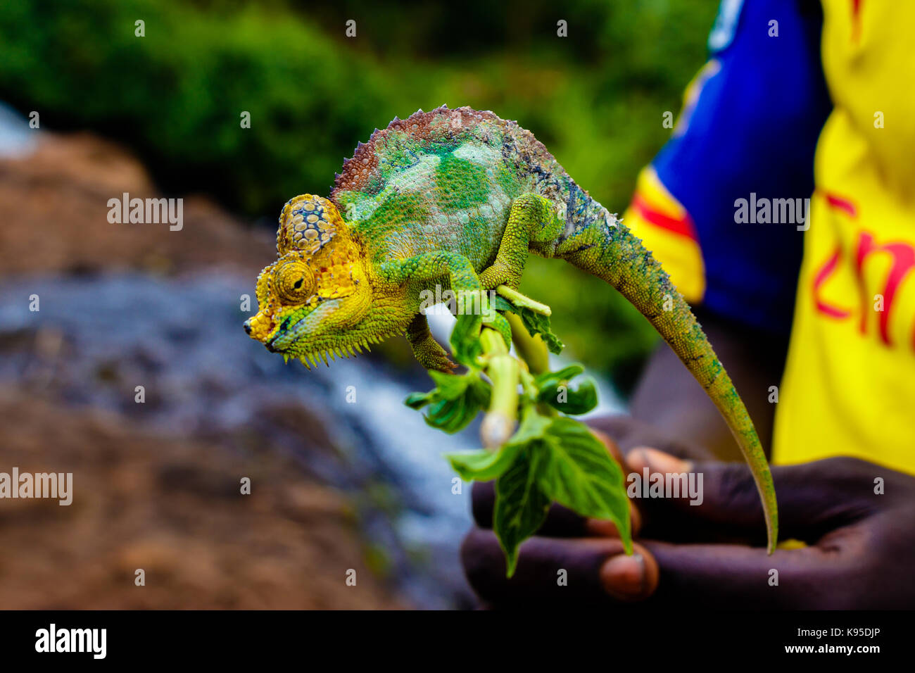 A chameleon adapting to the colors of an Arsenal football shirt - Stock Image