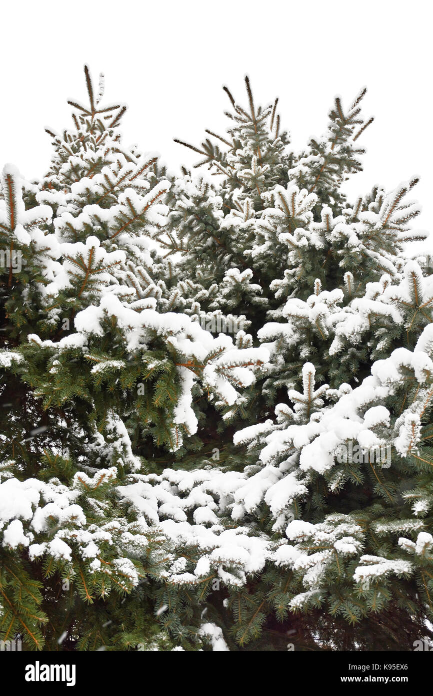 Close view of snow-covered spruce trees. Spruces in winter isolated on white background. - Stock Image