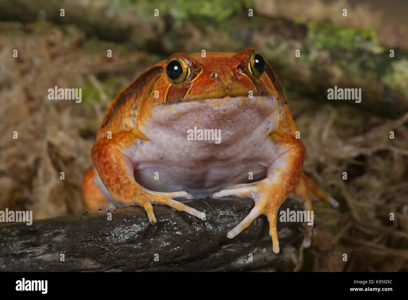 very close showing the full face of a tomato frog facing the camera - Stock Image